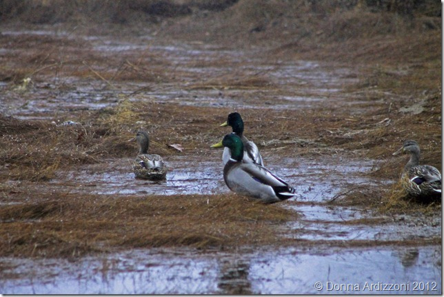 December 17, 2012 Ducks and rainy day