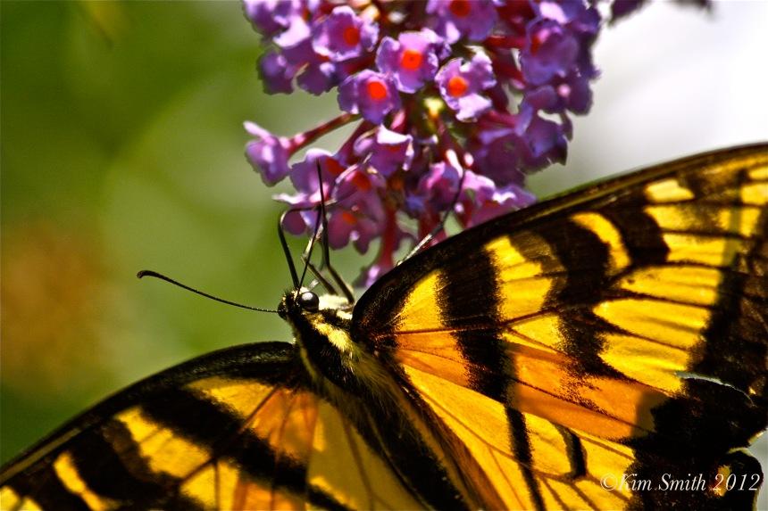 Eastern Tiger Swallowtail-2 ©Kim Smith 2010