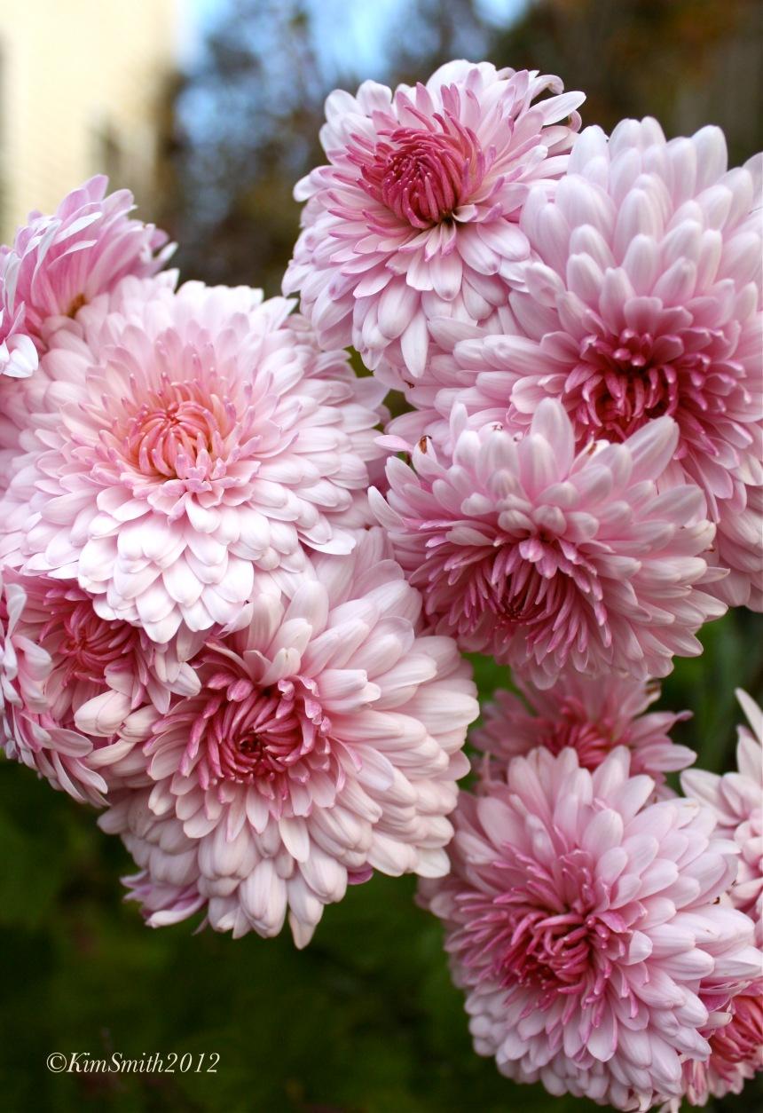 Emperor of China Chrysanthemum ©Kim Smith 2012 copy