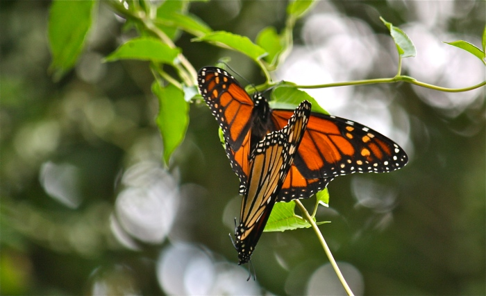 Monarch Butterflies Mating.jpg