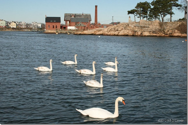Seven Swans A Swimming | GoodMorningGloucester