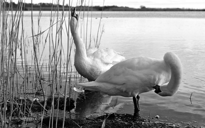 Swans Niles Pond ©KIm Smith 2012