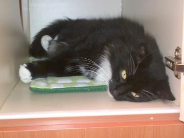 timmy, pet of the week, cape ann animal aid