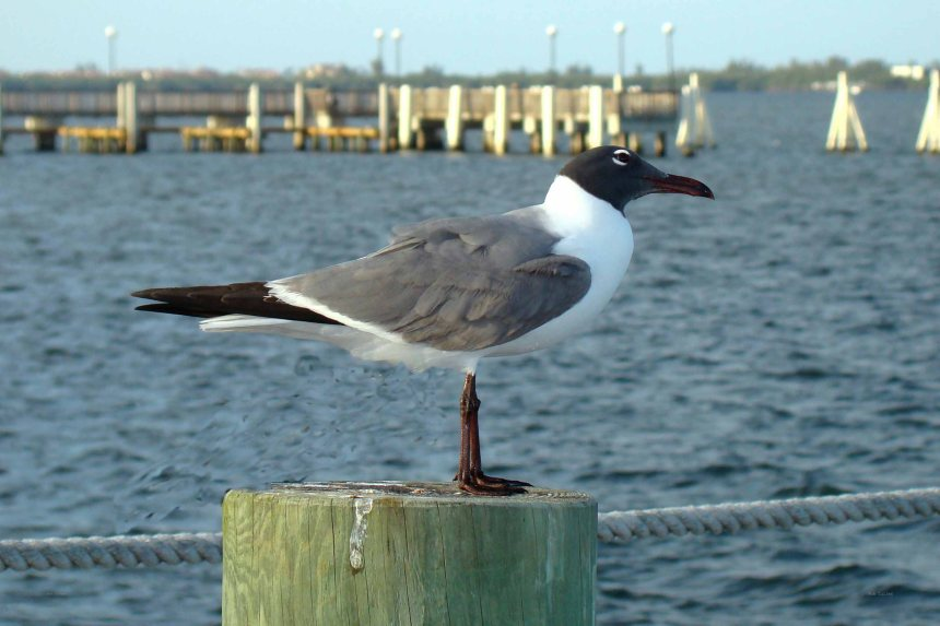 Laughing Gull (summer plumage) at Dolphin Bar, Jensen Beach