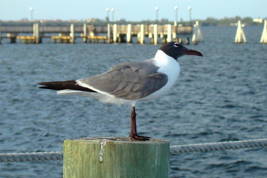 Laughing Gull (summer plumage) at Dolphin Bar, Jensen Beach