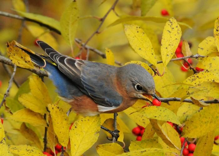 EasternBluebird.Ashland.11.18.10.derekstoner-103