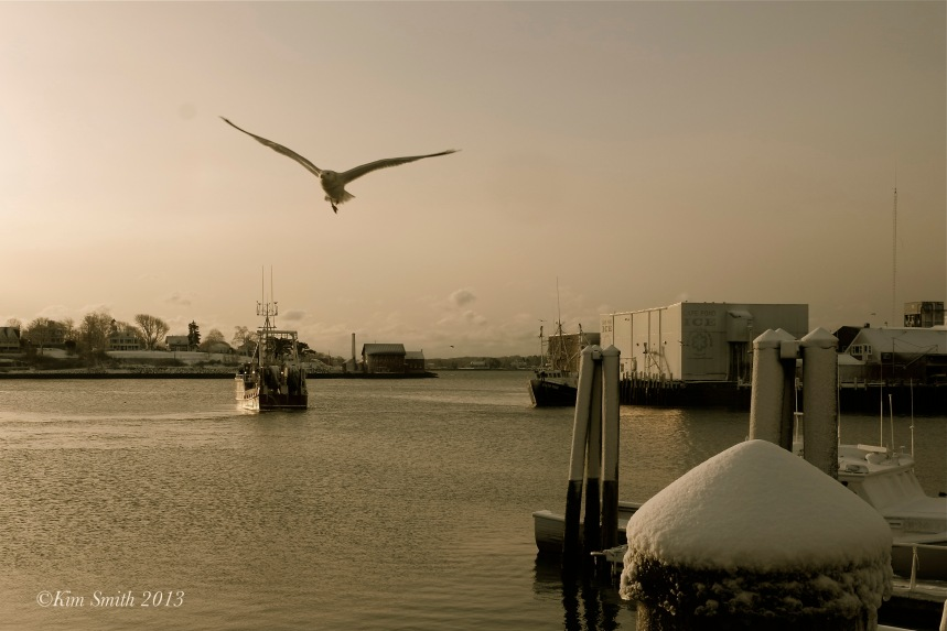 Gloucester Seagull  ©Kim Smith 2013-1