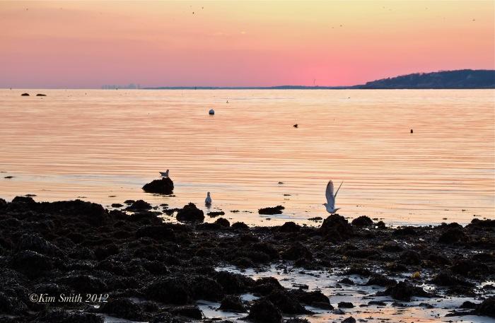 Gloucester Seagull  ©Kim Smith 2013-4