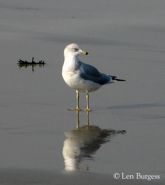 Gull2(©)