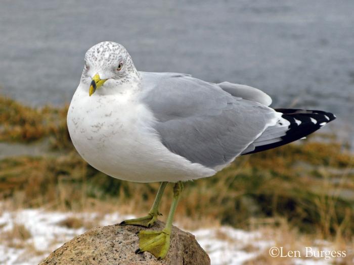 gull(©)_7139
