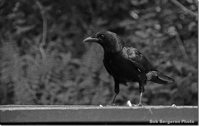 Raven-noise