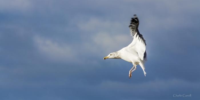Seagull-1