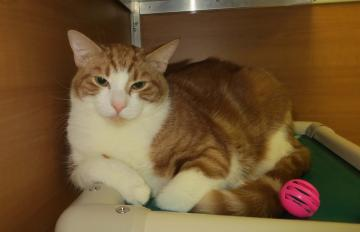 tigger, pet of the week, kitty