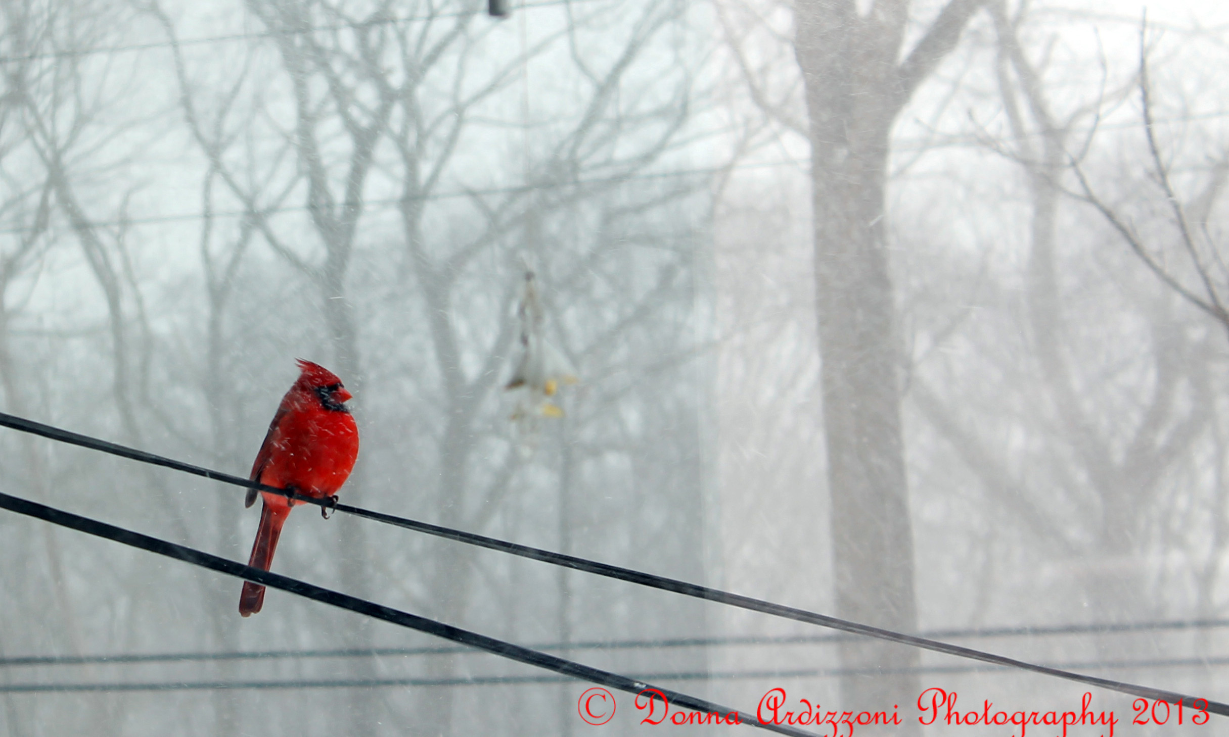 Red Cardinal on a Wire | GoodMorningGloucester