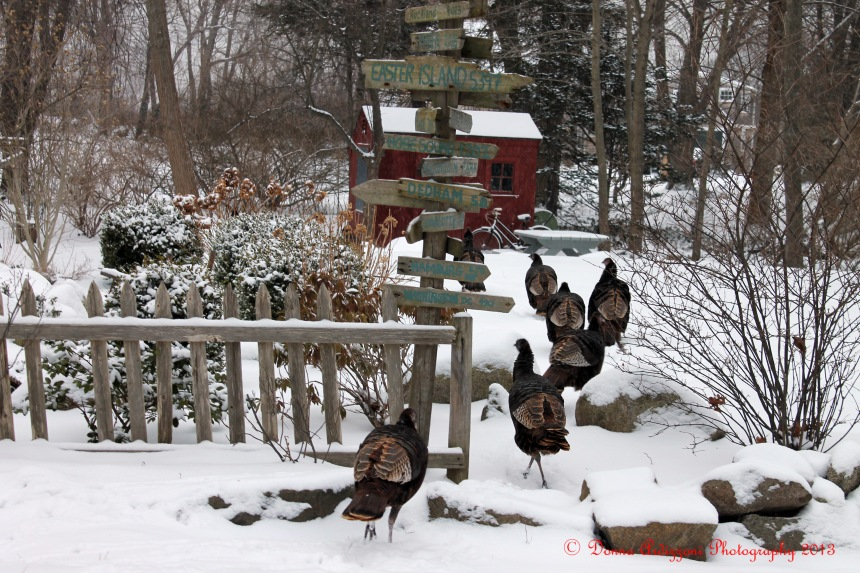 February 2, 2013 Turkeys