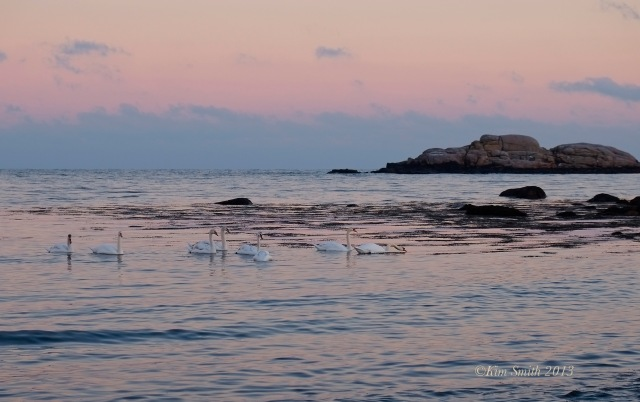 Niles Pond Brace Cove Swans -4  ©Kim Smith 2013