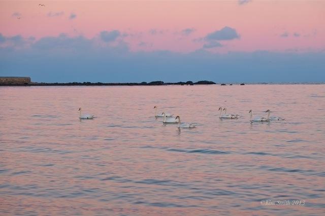 Niles Pond Brace Cove swans -5 ©Kim Smith 2013