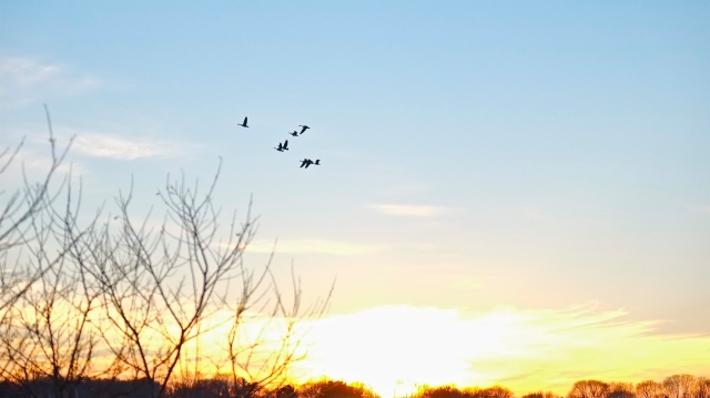 Niles Pond swans ©Kim Smith 2013