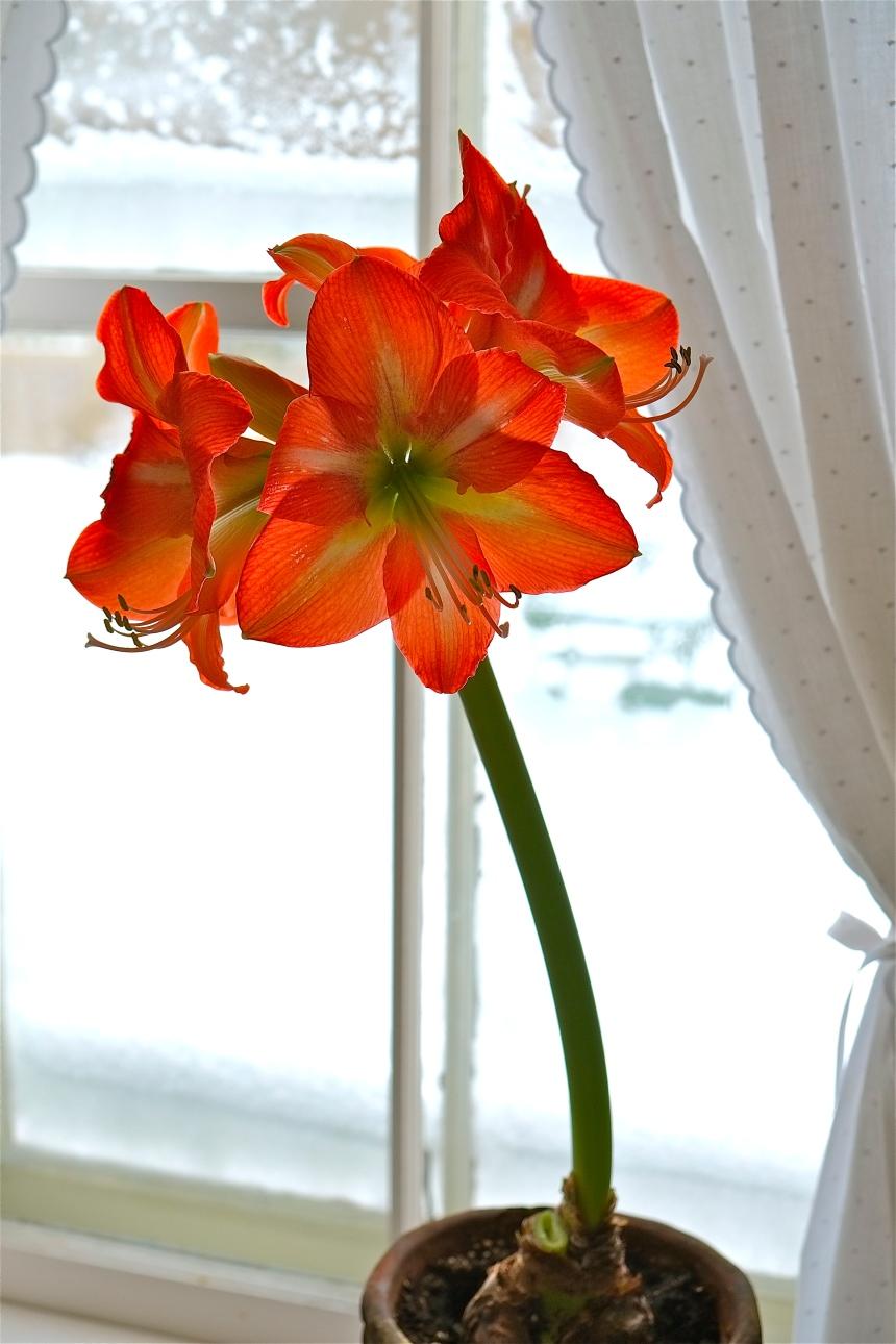 Orange Amarylis ©Kim Smith 2013-4