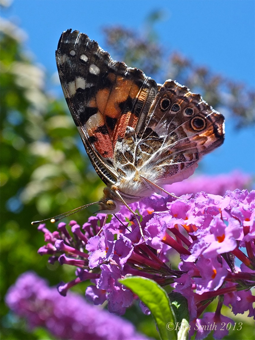 Painted Lady Butterfly Nanho Purple Butterfly Bush © Kim Smith 2013