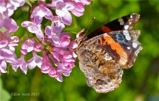 Lilac and Red Admiral ©Kim Smith 2012