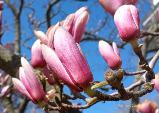Magnolia 'Alexandrina' Buds ©Kim Smith 2013