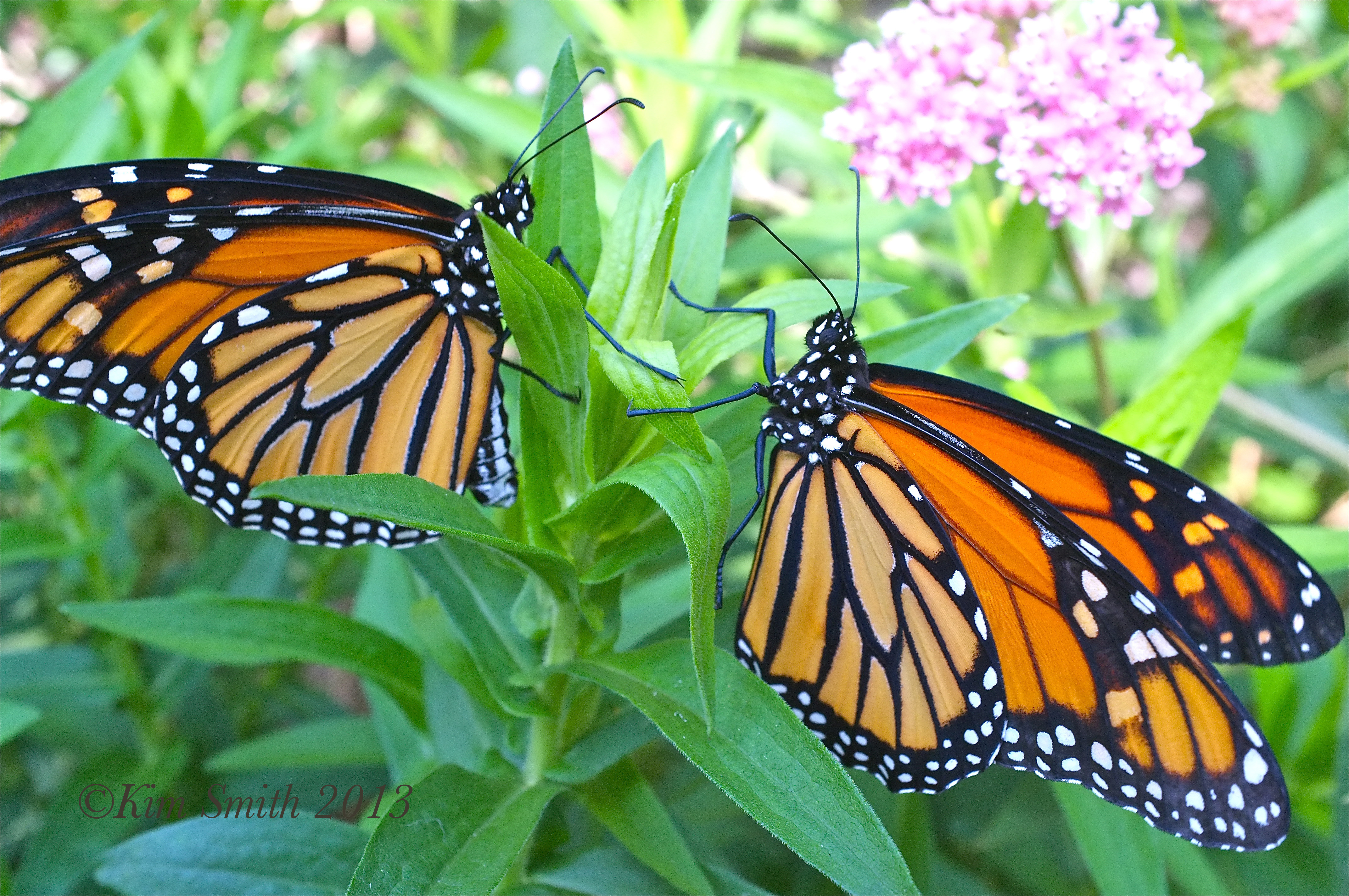 How Exactly is Monsantos Roundup Ravaging the Monarch