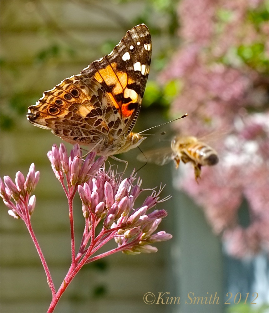 Painted Lady Baby Joe-Pye Weed