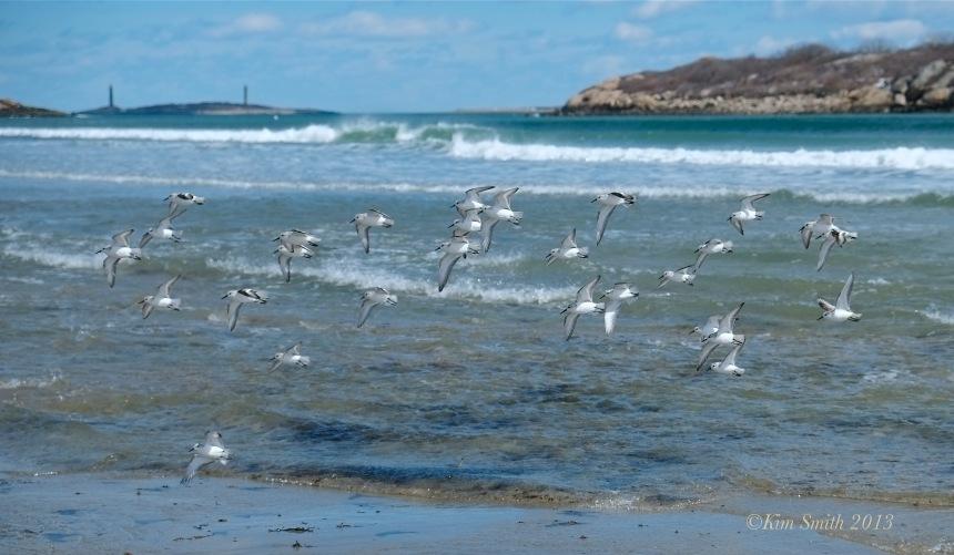 Sanderlings Good Harbor Beach ©Kim Smith 2013