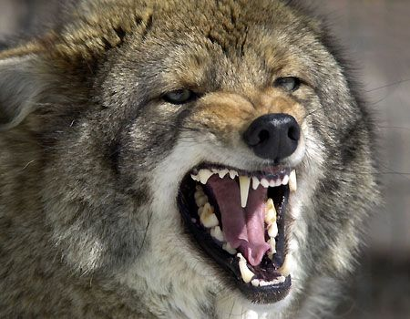 1_22_coyote_snarl