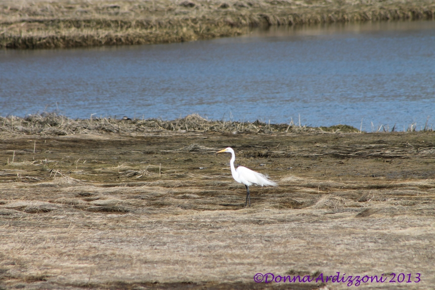 April 9, 2013 beautiful sea bird in the marsh