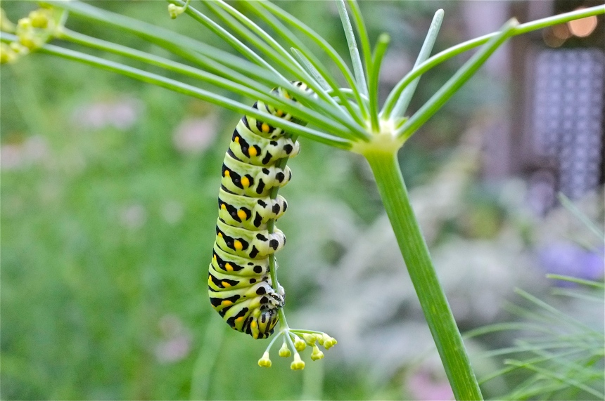 Black Swallowtail Caterpillar fennel ©Kim Smith 2013