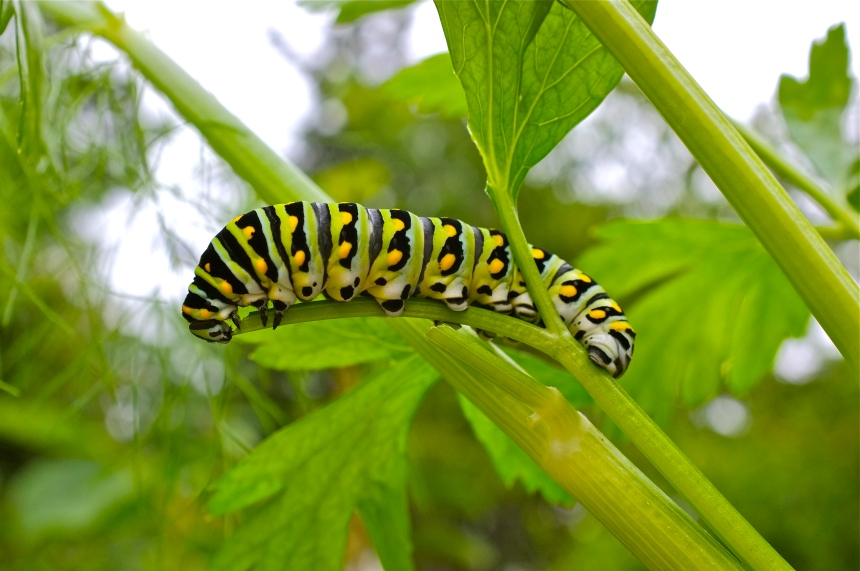 Black Swallowtail Caterpillar Eating Parsley