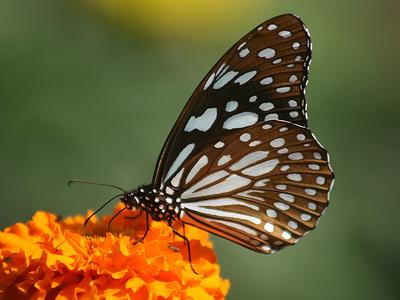 Blue Tiger Butterfly Tirumala limniace
