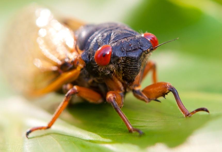 cicada-7