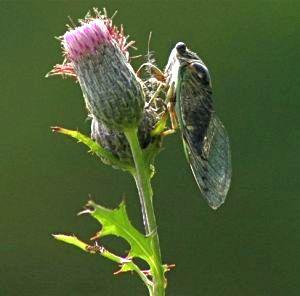 cicada_on_swamp_thistle_0235-2_resized2_ct