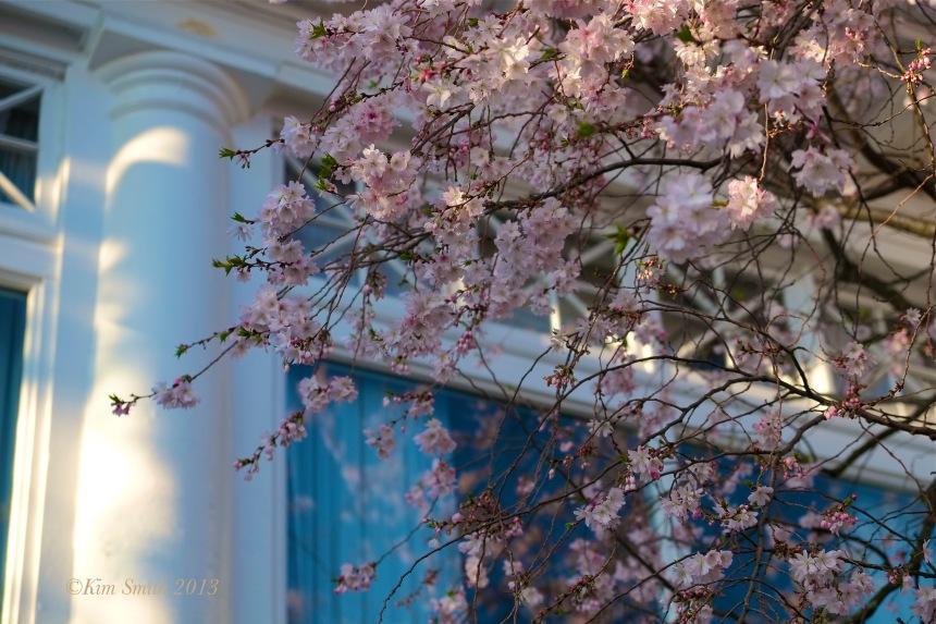 Cincinnati Country Club Cherry blossoms ©Kim Smith 2013