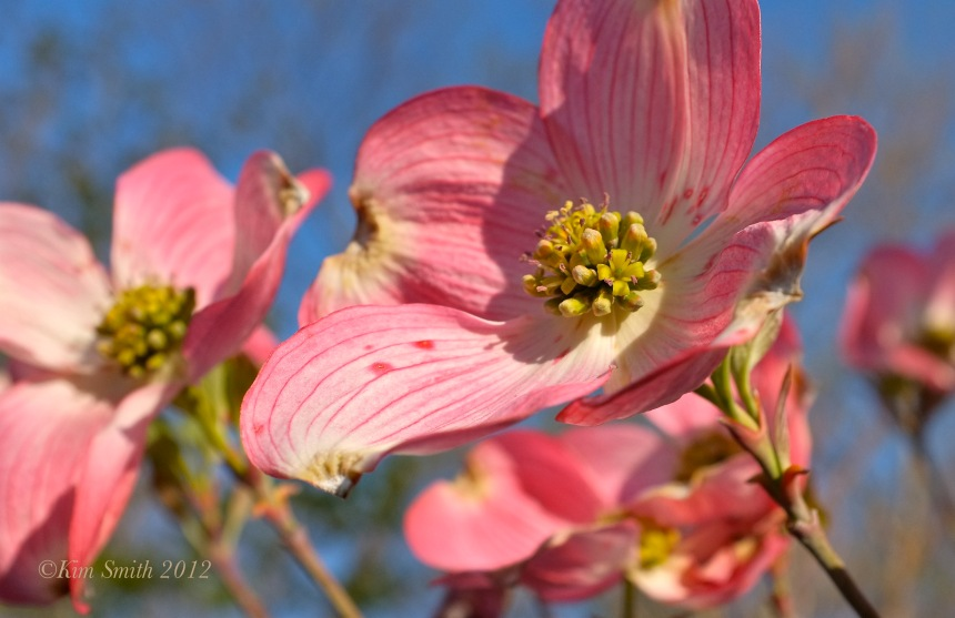 Cornus florida rubra Pink Flowering Dogwood ©Kim Smith 2012