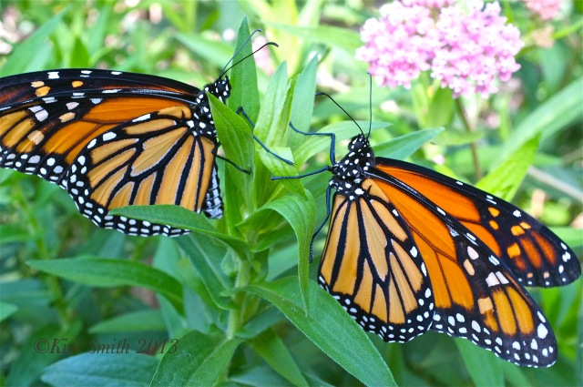 Monarch Butterfiles Female left Male right Milkweed ©Kim Smith 2012