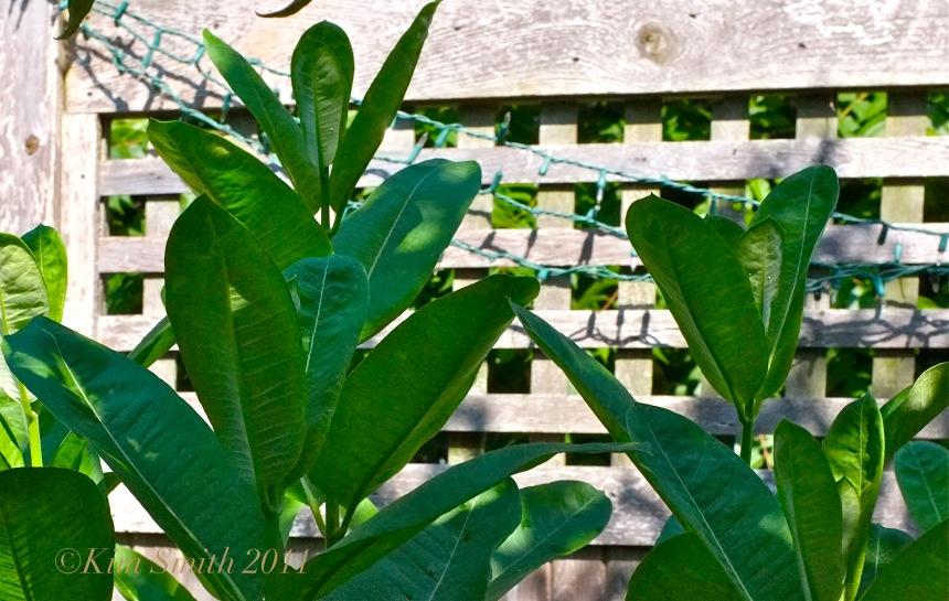 Monarch Butterfly Eggs Common Milkweed ©Kim Smith