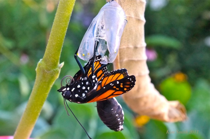 Monarch Butterfly Emerging from Chryslais ©Kim Smith 2011.JPG