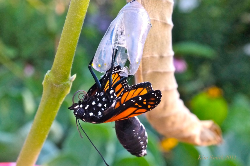 Monarch Butterfly Emerging from Chryslais ©Kim Smith 2011.JPG