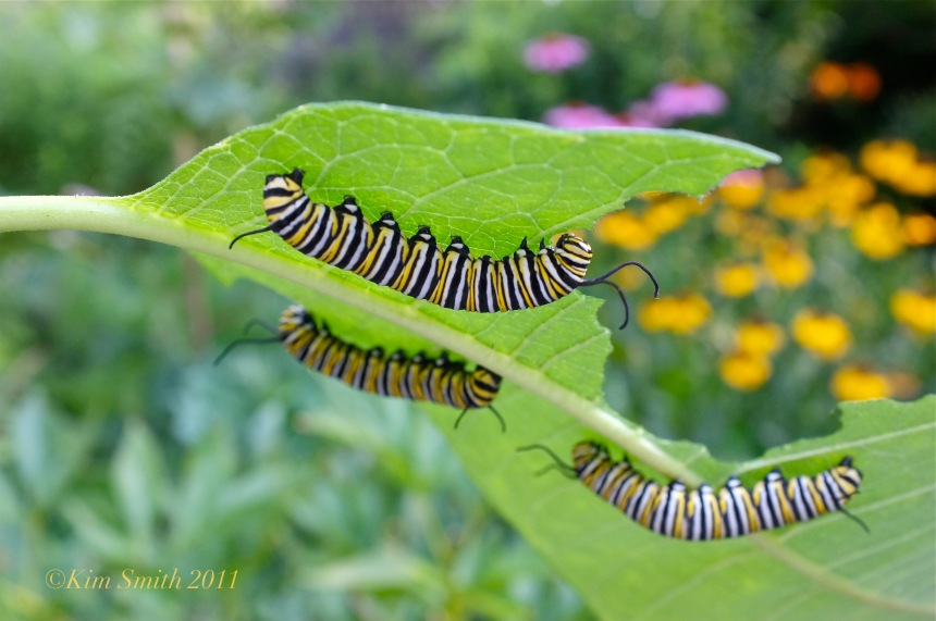 Monarch Caaterpillars Feeding on Common Milkweed ©Kim Smith 2011