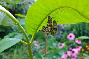 Monarch Caterpillars Common Milkweed ©Kim Smith 2011