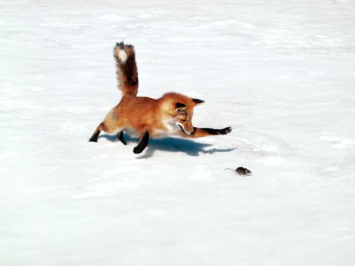red-fox-killing-a-mouse