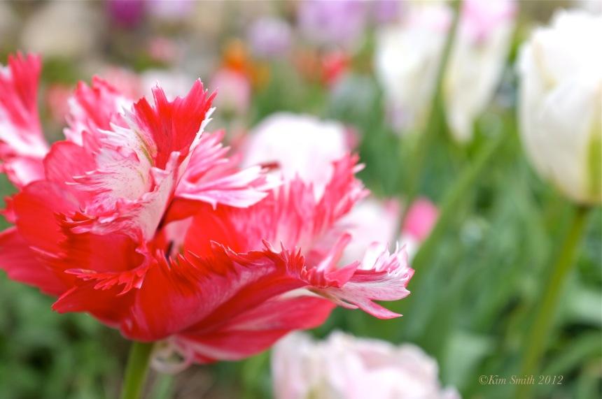 Tulipa Willowdale Estate ©Kim Smith2012