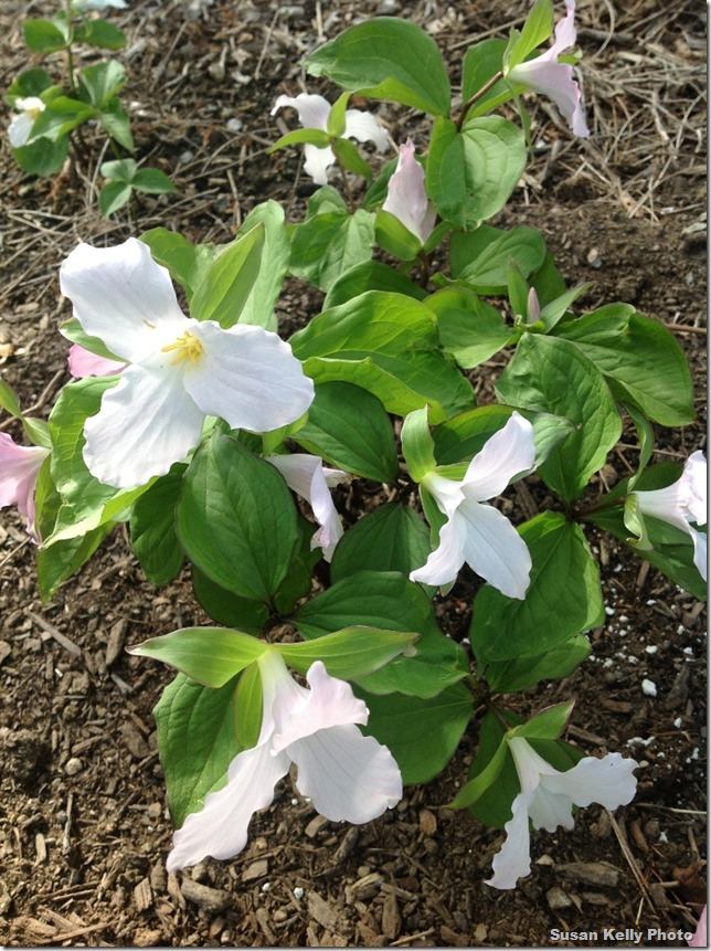 beautiful trillium