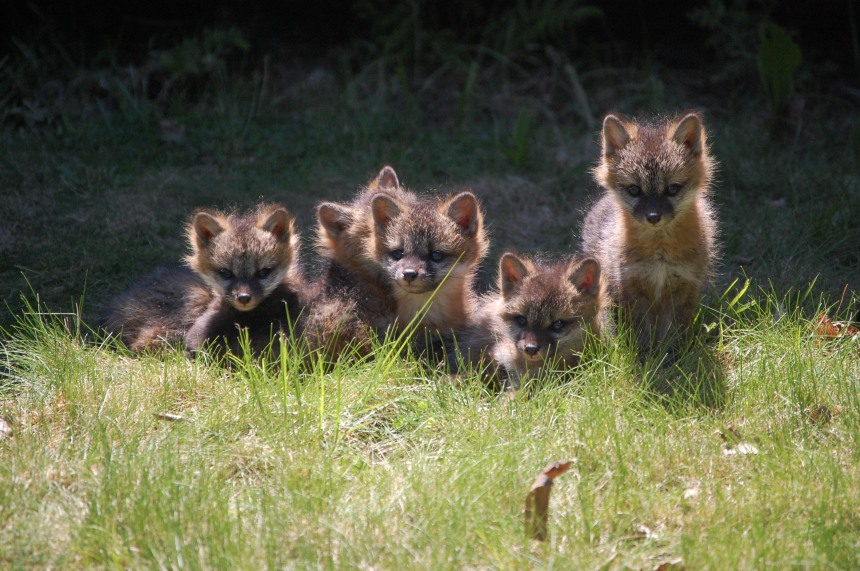Five Foxlets © Sally Williams