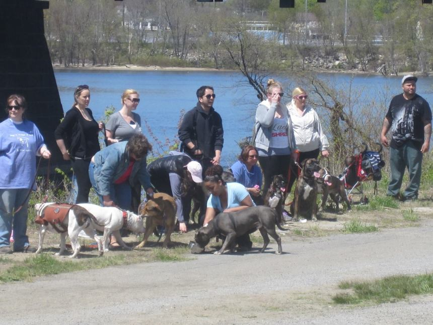Gloucester Bully walk