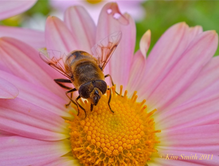Korean daisy for bees©Kim Smith 2011